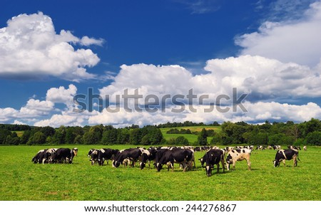 Cows grazing on a green summer meadow in Hungary - stock photo
