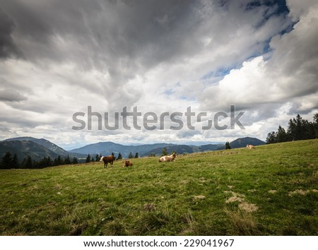 Cows grazing on a mountains meadow.Alps,Austria. - stock photo