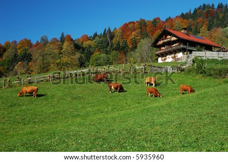 Cows grazing on a mountainside field - stock photo