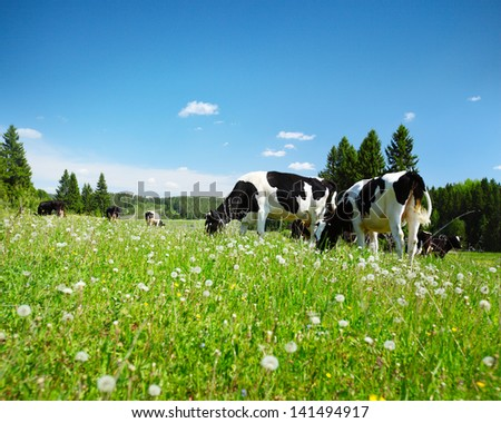 Cows grazing on a spring meadow in sunny day - stock photo
