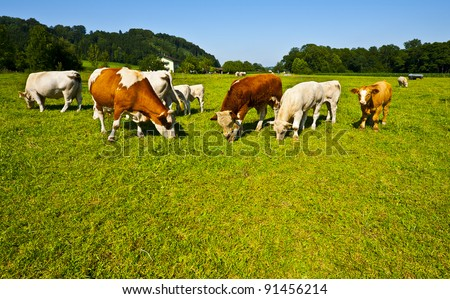 Cows Grazing on Pasture in Southern Bavaria, Germany - stock photo