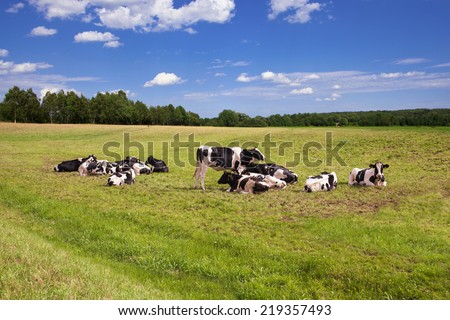 cows grazing on pasture under blue sky - stock photo