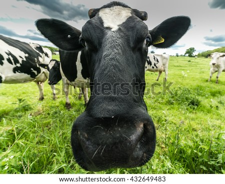 Cows Head Shoot on Green Field, Background Close Up - stock photo