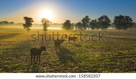 Cows in a Cornfield - stock photo
