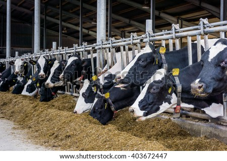 Cows in a farm. Dairy cows - stock photo