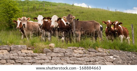 cows in a field  - stock photo