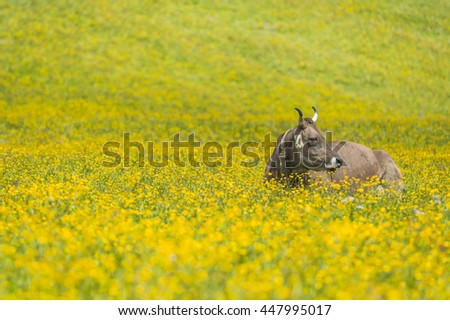 Cows in a field of flowers - stock photo