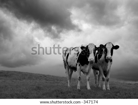 Cows in black and white in a moody landscape - stock photo