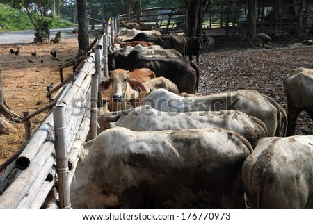 cows in dirty farm - stock photo