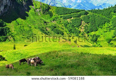 cows in the alps - stock photo