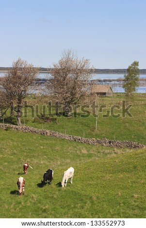 Cows in the meadow by the lake - stock photo