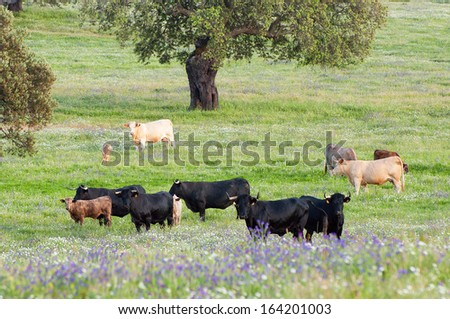 Cows in the meadows in Extremadura, Spain - stock photo