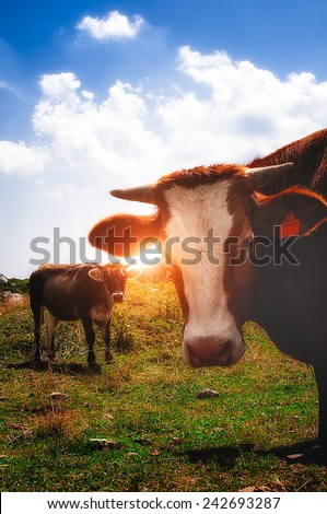 cows in the mountain during the sunset - stock photo