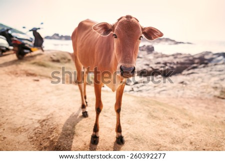Cows on a beach at the sea in summer day. - stock photo