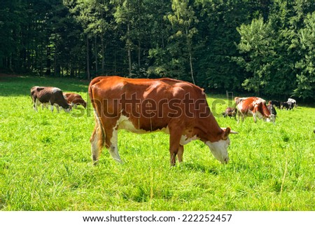 Cows on a green meadow in summer sunny day - stock photo