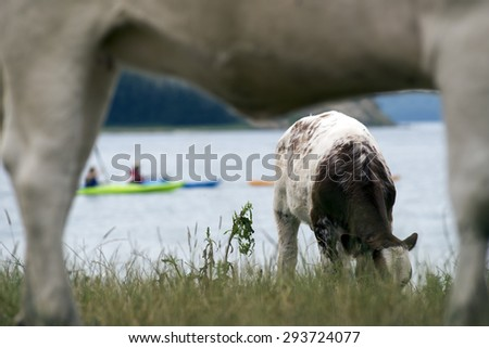 Cows on a green summer meadow. Blurred kayaks on water background. - stock photo