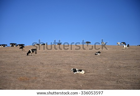 cows on a hill - stock photo