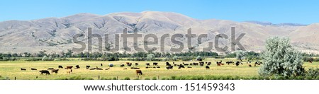 Cows on a pasture in Montana. - stock photo