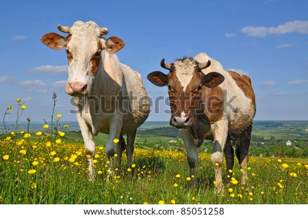Cows on a summer pasture. - stock photo