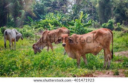 Cows on a summer pasture,Thailand - stock photo