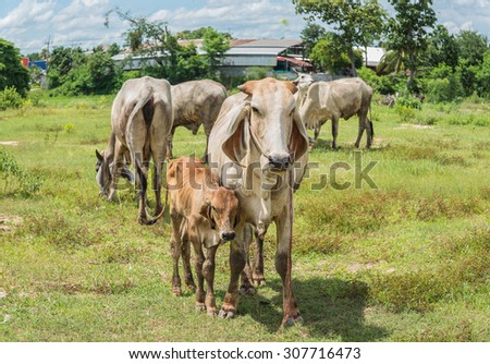 cows on meadow in Thailand - stock photo
