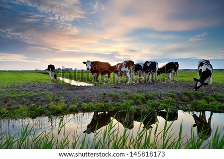 cows on pastoral by river at sunset, Groningen, Netherlands - stock photo