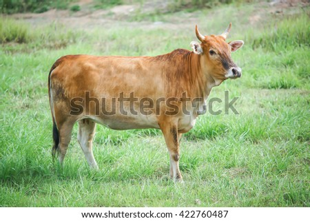 Cows on pasture. - stock photo