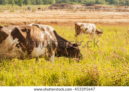 Cows on pasture , background of farm and forest. - stock photo
