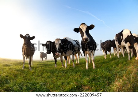 cows on pasture over blue sky at sunrise - stock photo