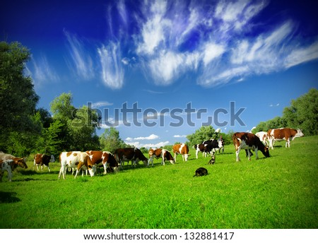 Cows on the field - stock photo