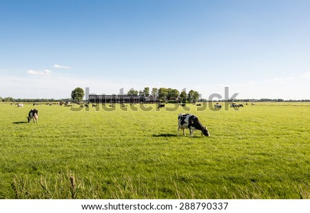 Cows quietly enjoying the fresh spring grass of the meadow. In the background is their modern Dutch cowshed. - stock photo