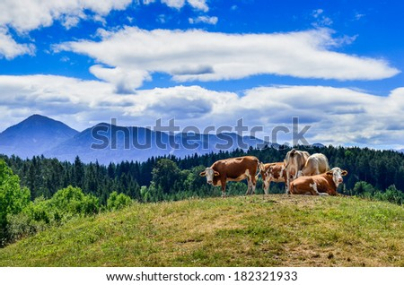 Cows resting in the Alpine Meadow - stock photo