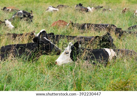 Cows resting in the field around Lake LLanquihue, X Region, Chile