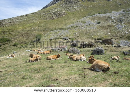Cows resting in the field. Photo taken in Sousas Valley, Somiedo Nature Reserve. It is located in the central area of the Cantabrian Mountains in the Principality of Asturias in northern Spain - stock photo