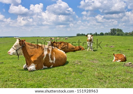 cows resting on grass field - stock photo