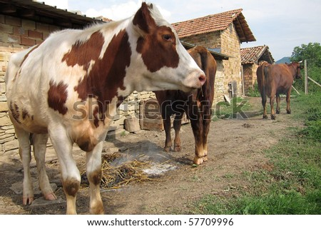 Cows standing by the farm wall and nearby smoking straw - stock photo