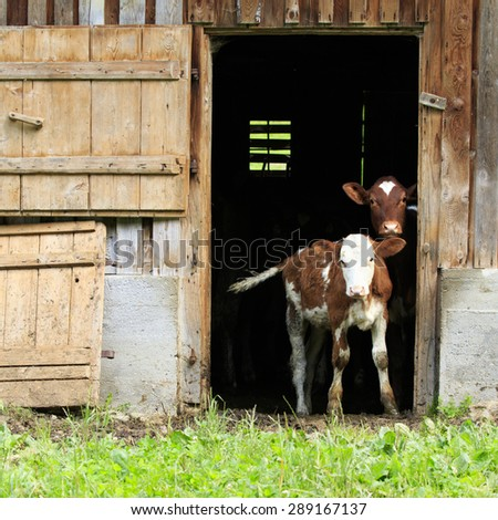 Cows, two young calves looking out of a barn  - stock photo