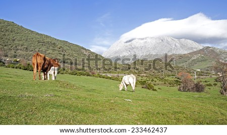 Cows up in the mountain. - stock photo
