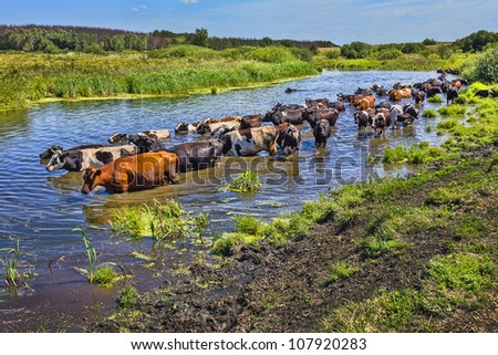 Cows wade cross the river in the countryside - stock photo