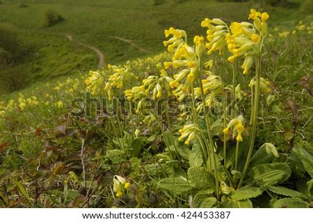 Cowslip - Primula verisMass of flowers on limestone grassland - stock photo