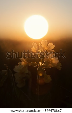 cowslip wildflowers back lighted with golden evening sun, selective focus. - stock photo