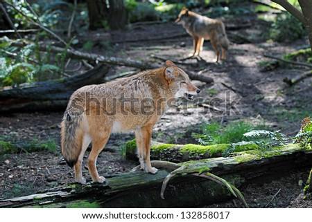 Coyote - stock photo
