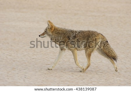 Coyote (Canis latrans) dashing through a dry lake bed in Southern California. - stock photo