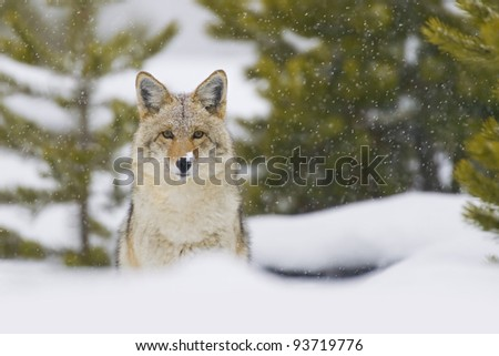 Coyote (Canis latrans) in a snow storm in Yellowstone National Park, Wyoming, USA. - stock photo