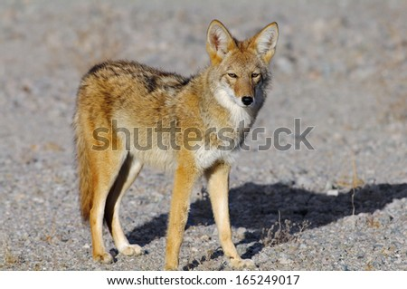 Coyote (Canis latrans). Location: Death Valley National Park, California, USA.  - stock photo