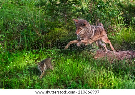 Coyote (Canis latrans) Pounces After Pup - Pup in Motion - captive animals - stock photo