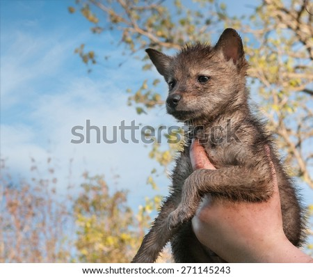 Coyote (Canis latrans) Pup Held Up to Sky - captive animal - stock photo