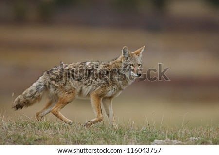 Coyote, canis latrans, with burrs tangled in fur, walking in a prairie grassland environment; midwest / midwestern USA; Illinois predator hunting season - stock photo