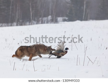 Coyote chasing a ring necked pheasant rooster.  Soft focus of predator and prey.  Wintry mist in Minnesota - stock photo