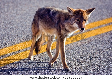 Coyote crossing road in Big Bend National Park, Texas. - stock photo
